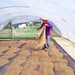 Lajes para estufas onde se faz a secagem do café: uma obra atendida pelo agroconcreto